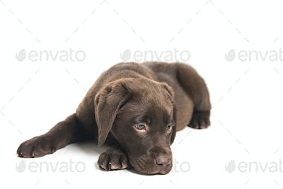 isolated portrait of a crouched chocolate labrador puppy sniffi