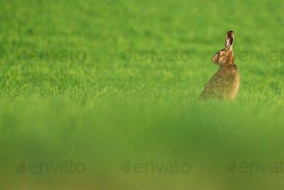 European hare , Lepus europaeus rabbit on meadow