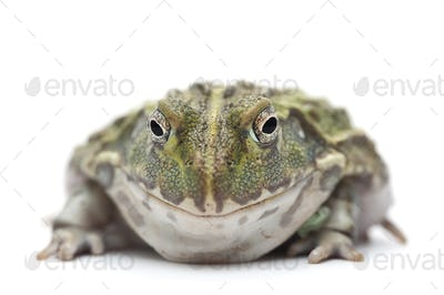 The African bullfrog isolated on white background