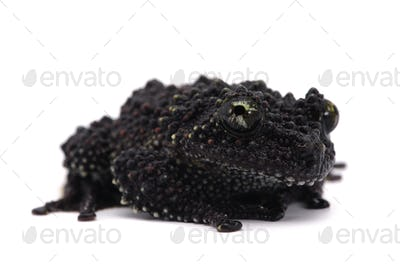 Vietnamese Mossy Frog isolated  on white background