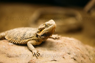 Picture of flat-tailed desert horned lizard resting on rock