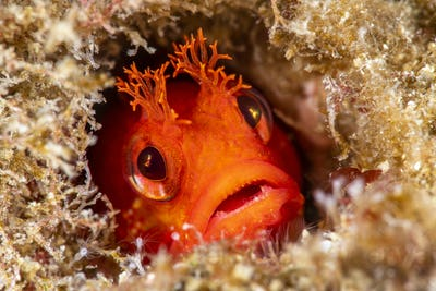 Red fringehead blenny