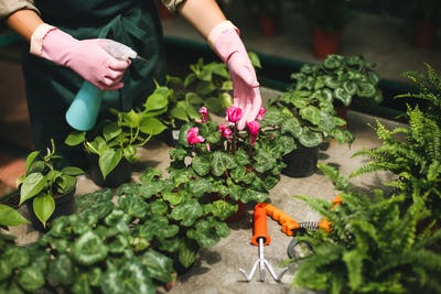 Close up woman hands in pink gloves spraying flowers in greenhouse