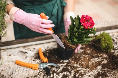 Woman hands in pink gloves using little garden shovel planting pretty flower in pot in greenhouse