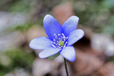 Blue spring wild flower (Hepatica nobilis) in the forest