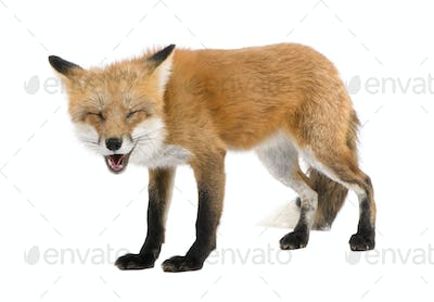 Red fox turned off by something (4 years)- Vulpes vulpes