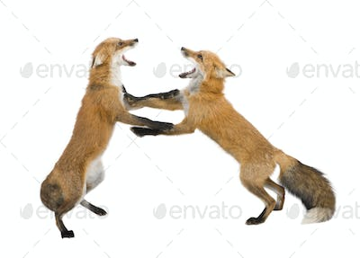 Red fox (4 years)- Vulpes vulpes