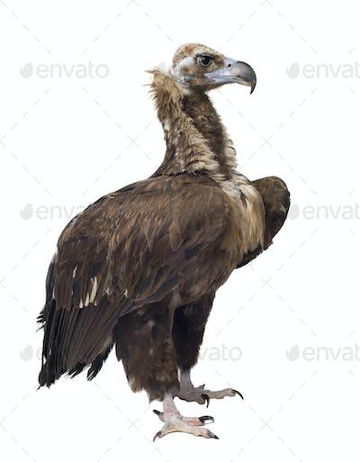 Eurasian Black Vulture (42 years) -  Aegypius monachus