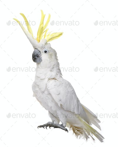 Sulphur-crested Cockatoo (22 years) - Cacatua galerita