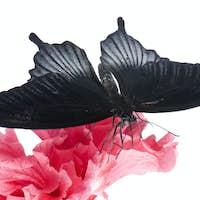 Papilio rumanzovia (male) butterfly