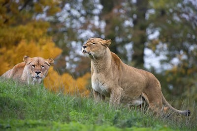 Lionesses in the wild