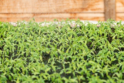 Small seedlings growing tomato in cultivation tray