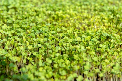 Microgreen sprouts raw sprouts
