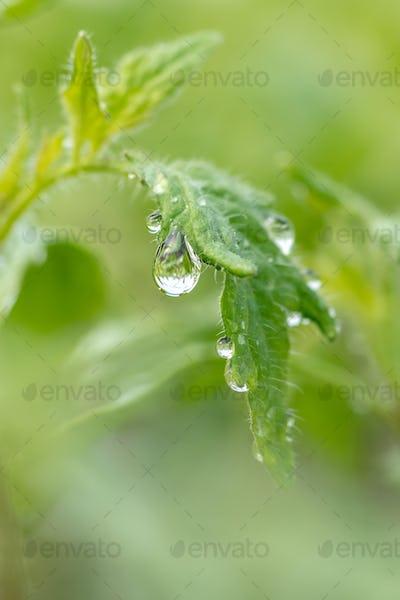 Water drop on a leaf macro shot