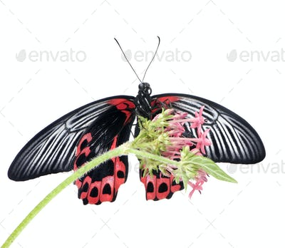 Papilio rumanzovia (female) butterfly