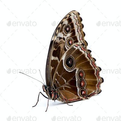 Morpho peleides butterfly