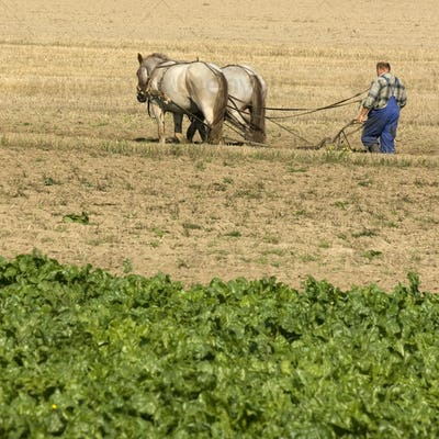 Horse working in the field