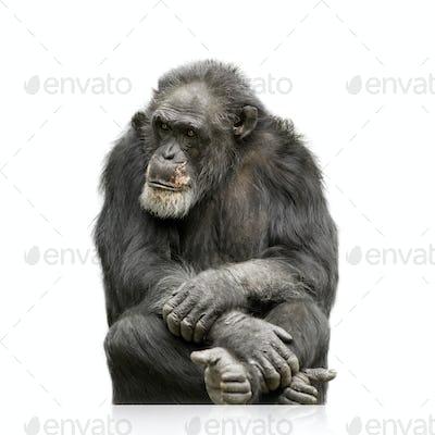 Chimpanzee - Simia troglodytes