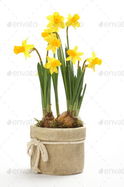 Narcissus in flowerpot isolated on a white background