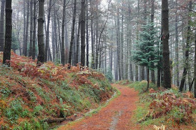 Foggy forest in autumn foliage, Basque Country