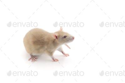 Laboratory rat isolated on white background