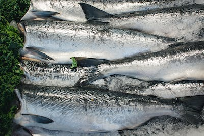 Silver fish for sale at fish market
