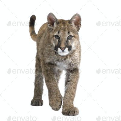Puma cub - Puma concolor (3,5 months)
