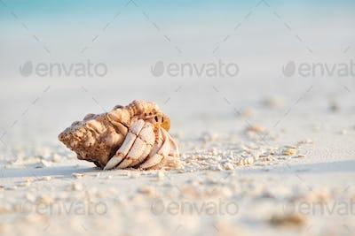 Hermit Crab on a beach