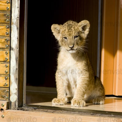 Lion Cub (7 weeks)