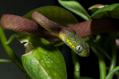 Green Cat Snake isolated on black background