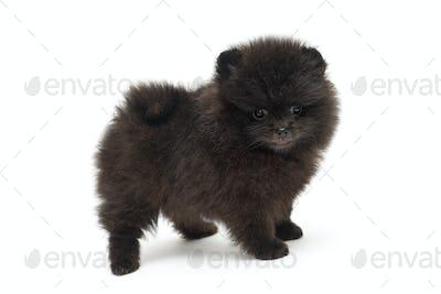 Little Pomeranian puppy