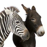 Zebra and Donkey