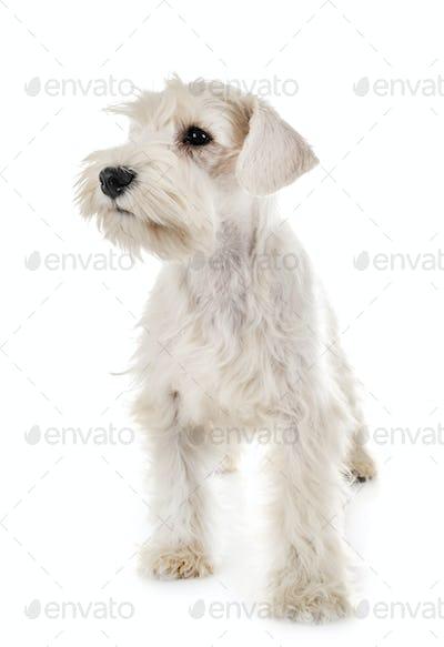 puppy white miniature schnauzer