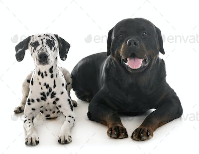 dalmatian and rottweiler