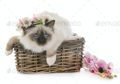 birman kitten in studio
