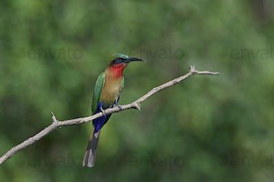 Red-throated bee-eater (Merops bulocki)