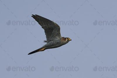 Red-necked falcon (Falco chicquera)