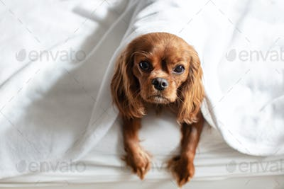 Cute dog in bed lying under the white blanket