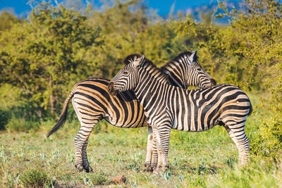 Two Common Zebra grooming in bright colors