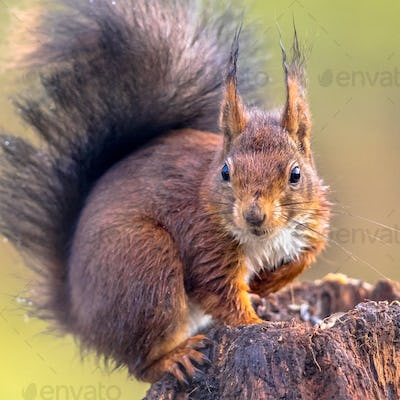 Red squirrel attentive on tree trunk