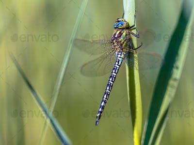 Male hairy dragonfly resting on vegetation