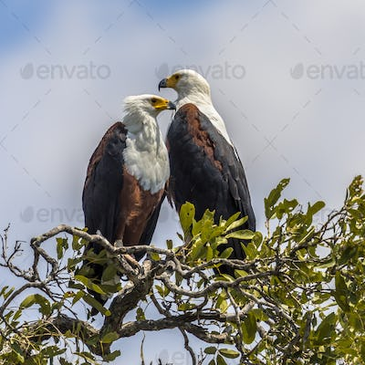 African fish eagle pair