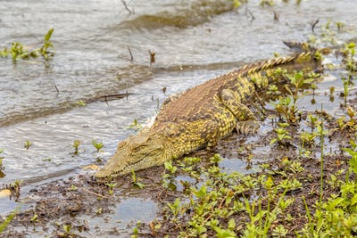 Nile crocodile basking