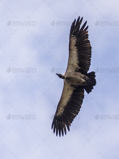 Flying White backed vulture