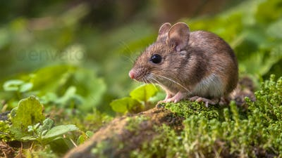 Cute Wood mouse on forest floor