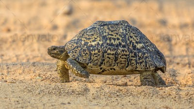 Leopard tortoise walking