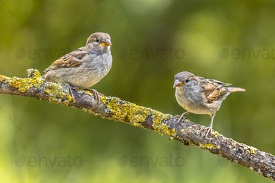 Two Young house sparrows