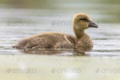 Greylag goose gosling