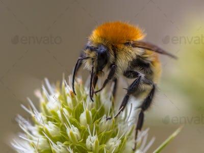 Great yellow bumblebee on flower