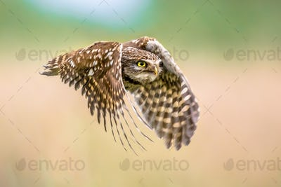 Little Owl flying on blurred background